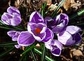 Spring crocus - Flickr - gailhampshire.jpg