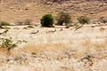 Springbok springing (3690391548).jpg