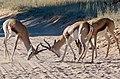 Springboks (Antidorcas marsupialis) males ... (50998969661).jpg