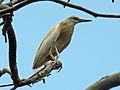 Squacco Heron RWD.jpg