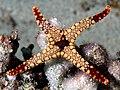 Starfish komodo.jpg