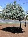 Starr-010330-0596-Conocarpus erectus-habit-Kahului-Maui (24449773921).jpg