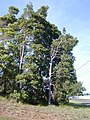 Starr-011028-0003-Lophostemon confertus-habit tree-Pololei Haiku-Maui (24516187716).jpg