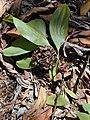 Starr-031013-0034-Acacia mangium-leaves and seed pods-Hamakuapoko-Maui (24580106751).jpg