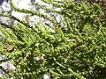 Starr-031108-0212-Dysphania ambrosioides-seeds-Siesta Key Beach-Florida (24648397356).jpg
