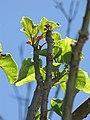 Starr-090610-0562-Jatropha curcas-leaves-Haiku-Maui (24937614146).jpg