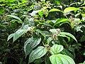 Starr-090623-1480-Clidemia hirta-leaves and fruit-Nahiku-Maui (24873320441).jpg