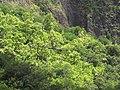 Starr-090720-3156-Aleurites moluccana-habit-Iao Valley Rd-Maui (24674834150).jpg