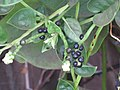 Starr-090806-3814-Basella alba-flowers fruit and leaves-Wailuku-Maui (24344498313).jpg