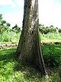 Starr-091104-0834-Terminalia sp-bark and base-Kahanu Gardens NTBG Kaeleku Hana-Maui (24360822693).jpg