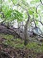 Starr-091115-1190-Aleurites moluccana-habit with palapalai understory-Olinda-Maui (24363171513).jpg