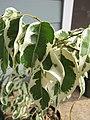 Starr-110215-0983-Ficus benjamina-variegated leaves-KiHana Nursery Kihei-Maui (24707461969).jpg