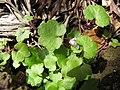 Starr-110307-1949-Cymbalaria muralis-flowering habit-Kula Botanical Garden-Maui (24450442723).jpg