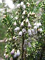 Starr-110609-6154-Erica lusitanica-leaves and flowers-Shibuya Farm Kula-Maui (25003533761).jpg