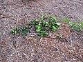 Starr-111116-1306-Citrus sinensis-Washington navel damaged by deer-Hawea Pl Olinda-Maui (24489471564).jpg