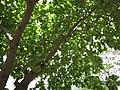 Starr-120522-6642-Cordia subcordata-leaves-Iao Tropical Gardens of Maui-Maui (24776343289).jpg