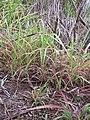 Starr-120620-7475-Cenchrus purpureus-local napier grass seedlings-Kula Agriculture Station-Maui (24850085580).jpg