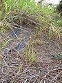 Starr-120620-9724-Cenchrus purpureus-local napier grass seedlings-Kula Agriculture Station-Maui (24554248524).jpg