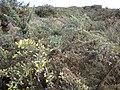 Starr-121031-0577-Ulex europaeus-habit-Waikamoi Flume Rd-Maui (25102106771).jpg