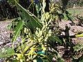 Starr-130201-1631-Persea americana-var Little Cado flowers-Hawea Pl Olinda-Maui (24578427313).jpg