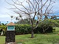 Starr-140222-0395-Colvillea racemosa-deciduous habit-Hana-Maui (25214361536).jpg