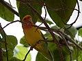 Starr-140711-1031-Cordia subcordata-tree with love birds-Kanani Rd Kihei-Maui (25244464295).jpg