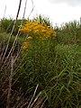 Starr-140930-2060-Solidago canadensis-flowering habit-Keokea-Maui (24951180720).jpg