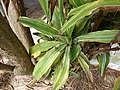 Starr-150325-0432-Dracaena fragrans-leaves-Residences Sand Island-Midway Atoll (24970088650).jpg