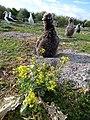 Starr-150328-0558-Brassica juncea-flowering habit and Laysan Albatrosses-Eastern Island-Midway Atoll (24638117814).jpg