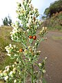 Starr-170304-0399-Conyza bonariensis-flower and ladybird beetles-Polipoli-Maui (33227120832).jpg