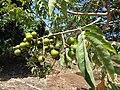 Starr-170913-0138-Sapindus saponaria-immature fruit-CTAHR Urban Garden Center Pearl City-Oahu - Flickr - Starr Environmental.jpg
