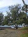 Starr 031209-0009 Casuarina equisetifolia.jpg