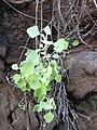 Starr 031210-0105 Chenopodium oahuense.jpg