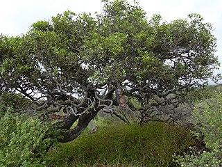 Ebenaceae Family of flowering plants