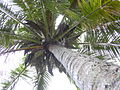 Starr 040518-0302 Cocos nucifera.jpg