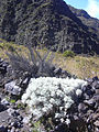 Starr 040813-0229 Artemisia mauiensis.jpg