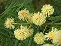 Starr 050415-0040 Acacia mearnsii.jpg