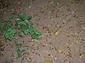 Starr 050519-1656 Cryptostegia madagascariensis.jpg
