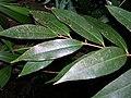 Starr 050818-4149 Syzygium jambos.jpg
