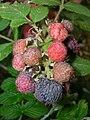 Starr 051123-5478 Rubus niveus f. a.jpg