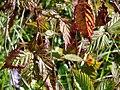 Starr 061205-1865 Rubus argutus.jpg