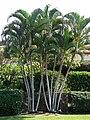 Starr 070124-3868 Chrysalidocarpus lutescens.jpg