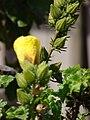 Starr 080304-3210 Hibiscus brackenridgei subsp. brackenridgei.jpg