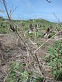 Starr 080605-6472 Brassica nigra.jpg