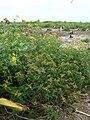 Starr 080606-9383 Euphorbia cyathophora.jpg