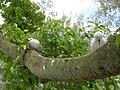 Starr 080614-9651 Ficus benjamina.jpg