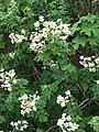 Starr 081230-0669 Montanoa hibiscifolia.jpg