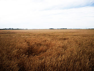 Steinbach, Manitoba - A barley field west of Steinbach, and an example of the flat topography of the surrounding area