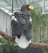 Белоплечий орлан (вид сзади)