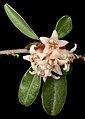 Stenanthemum pomaderroides - Flickr - Kevin Thiele.jpg